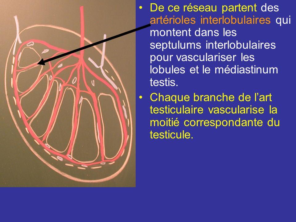 De ce réseau partent des artérioles interlobulaires qui montent dans les septulums interlobulaires pour vasculariser les lobules et le médiastinum testis.