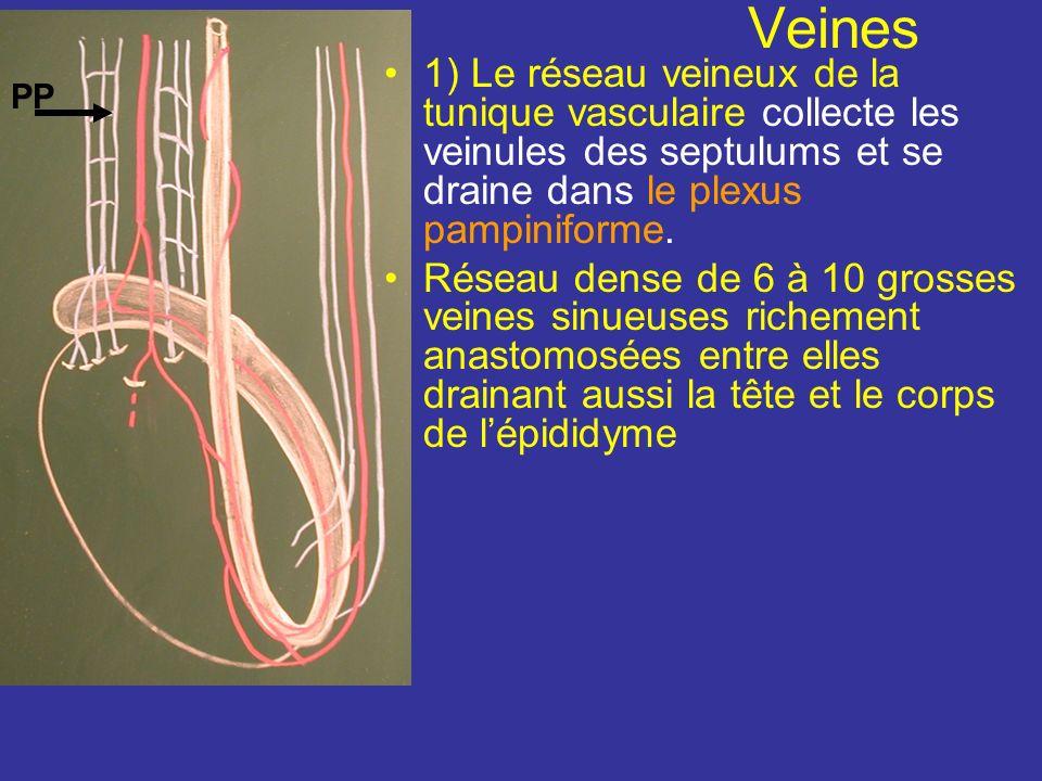 Veines 1) Le réseau veineux de la tunique vasculaire collecte les veinules des septulums et se draine dans le plexus pampiniforme.
