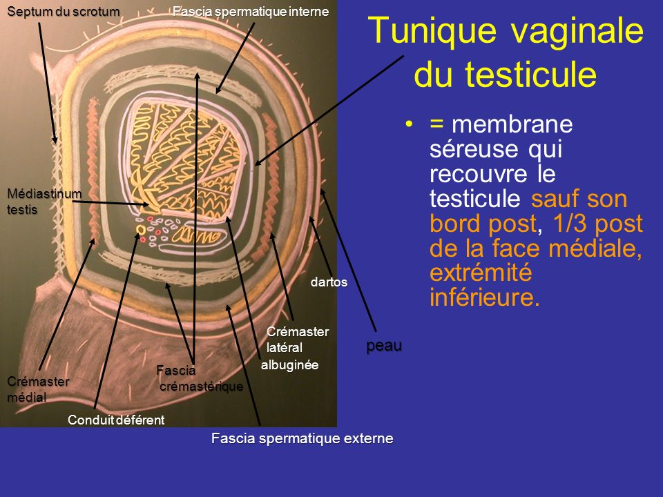 Tunique vaginale du testicule