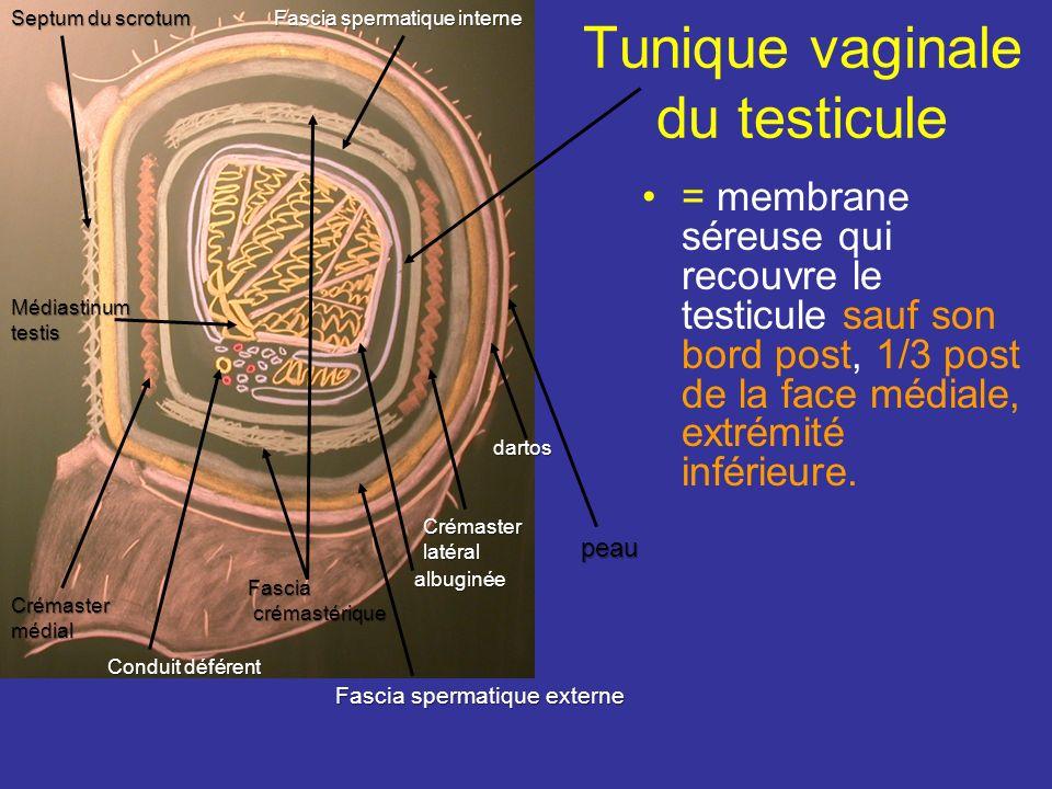Tunique vaginale du testicule