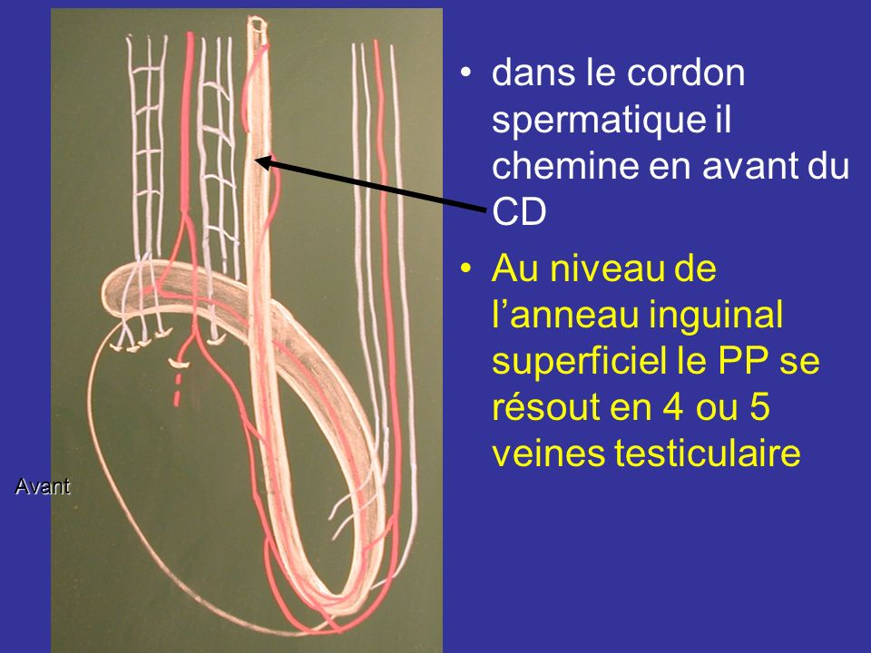 dans le cordon spermatique il chemine en avant du CD