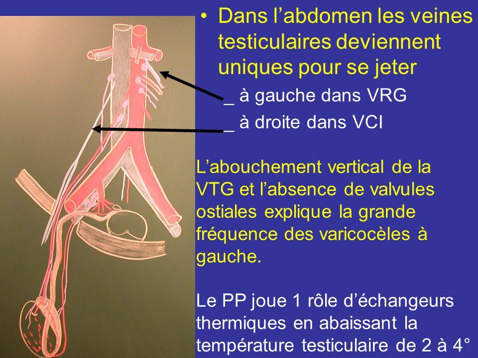 Dans l'abdomen les veines testiculaires deviennent uniques pour se jeter