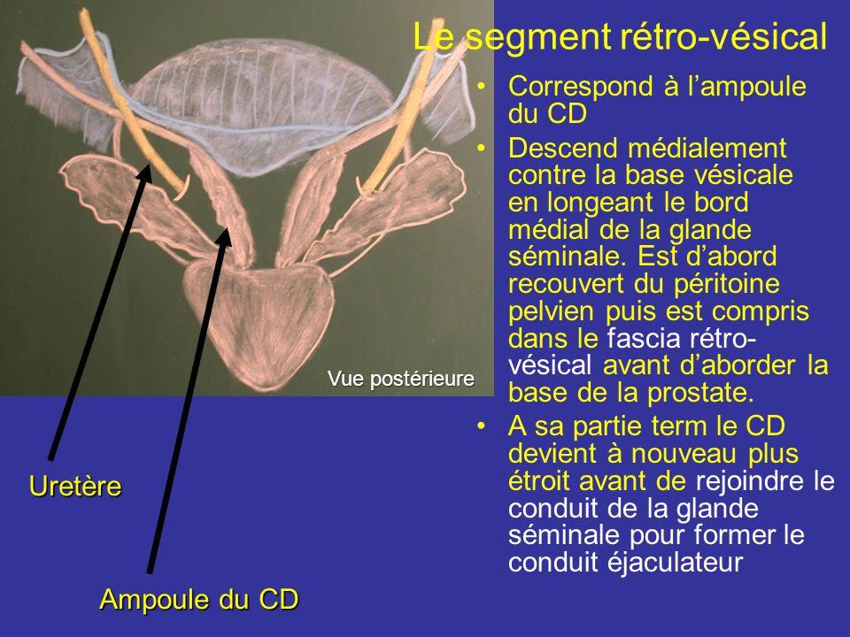 Le segment rétro-vésical