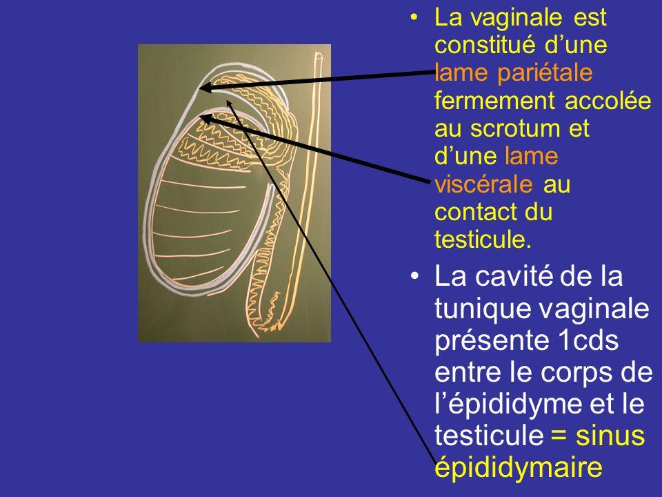 La vaginale est constitué d'une lame pariétale fermement accolée au scrotum et d'une lame viscérale au contact du testicule.