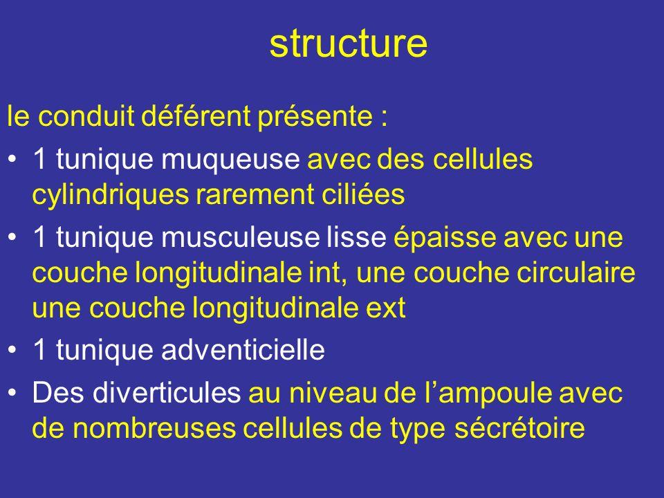 structure le conduit déférent présente :