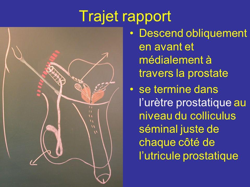 Trajet rapport Descend obliquement en avant et médialement à travers la prostate.