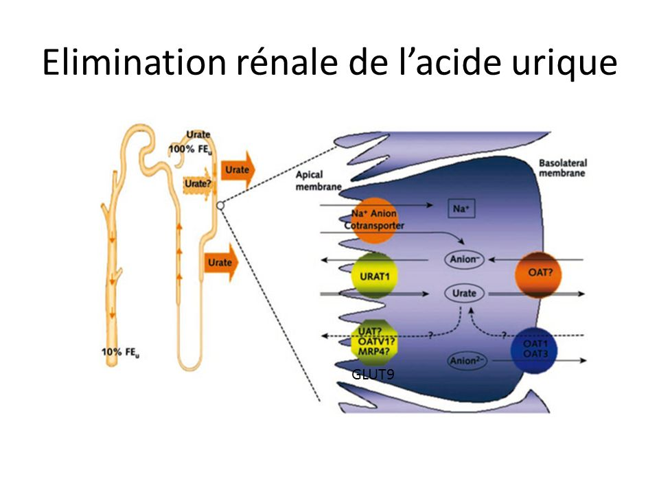 Elimination rénale de l'acide urique