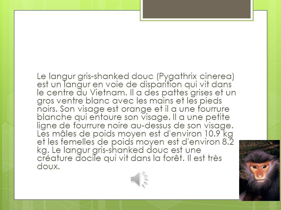 Le langur gris-shanked douc (Pygathrix cinerea) est un langur en voie de disparition qui vit dans le centre du Vietnam.