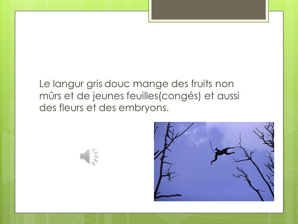 Le langur gris douc mange des fruits non mûrs et de jeunes feuilles(congés) et aussi des fleurs et des embryons.