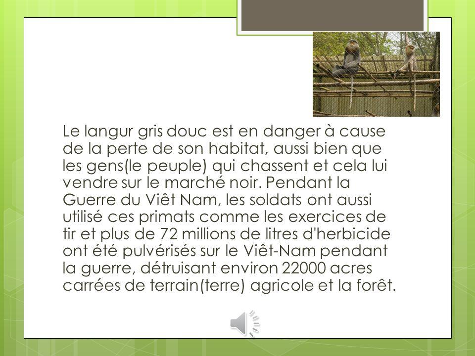 Le langur gris douc est en danger à cause de la perte de son habitat, aussi bien que les gens(le peuple) qui chassent et cela lui vendre sur le marché noir.