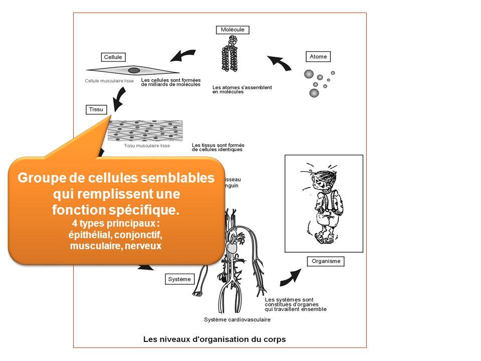 Groupe de cellules semblables épithélial, conjonctif,