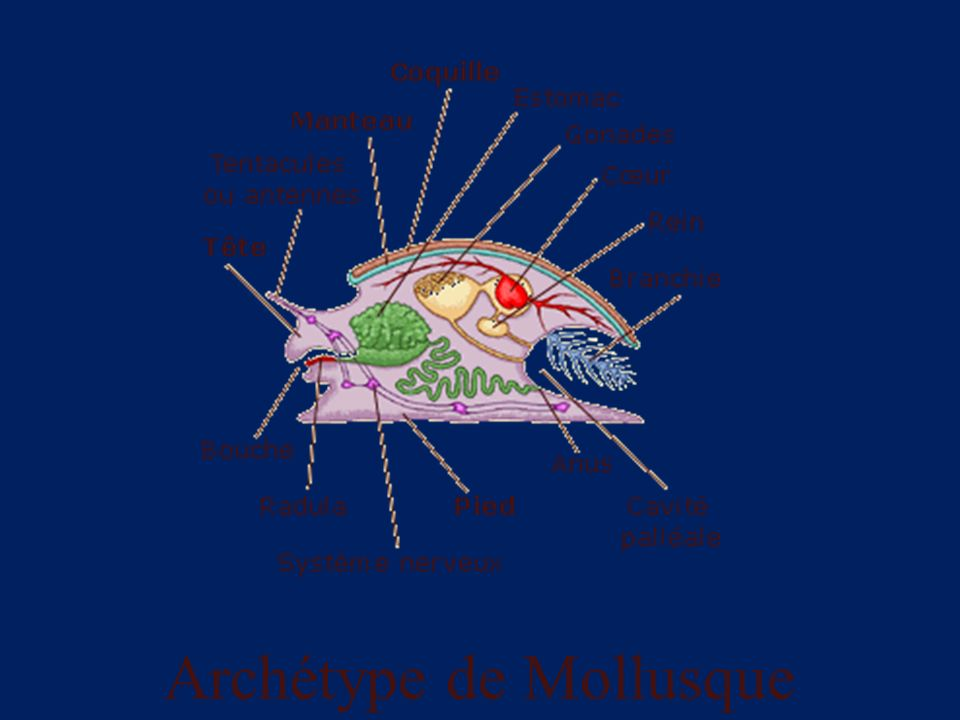 Archétype de Mollusque