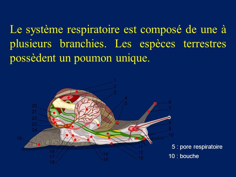 Le système respiratoire est composé de une à plusieurs branchies