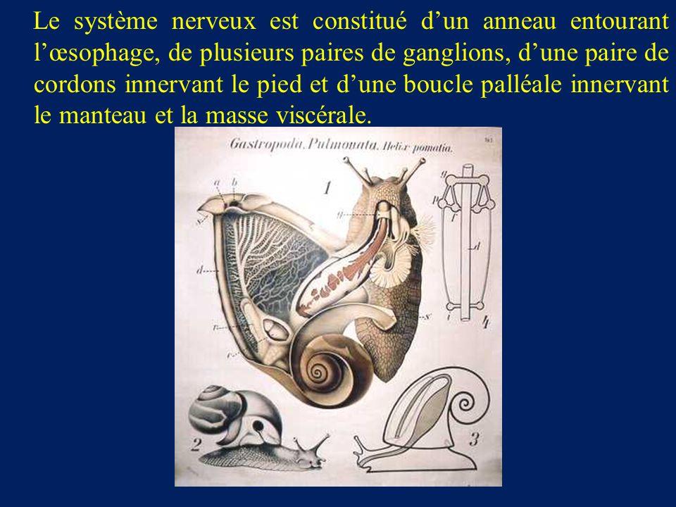 Le système nerveux est constitué d'un anneau entourant l'œsophage, de plusieurs paires de ganglions, d'une paire de cordons innervant le pied et d'une boucle palléale innervant le manteau et la masse viscérale.