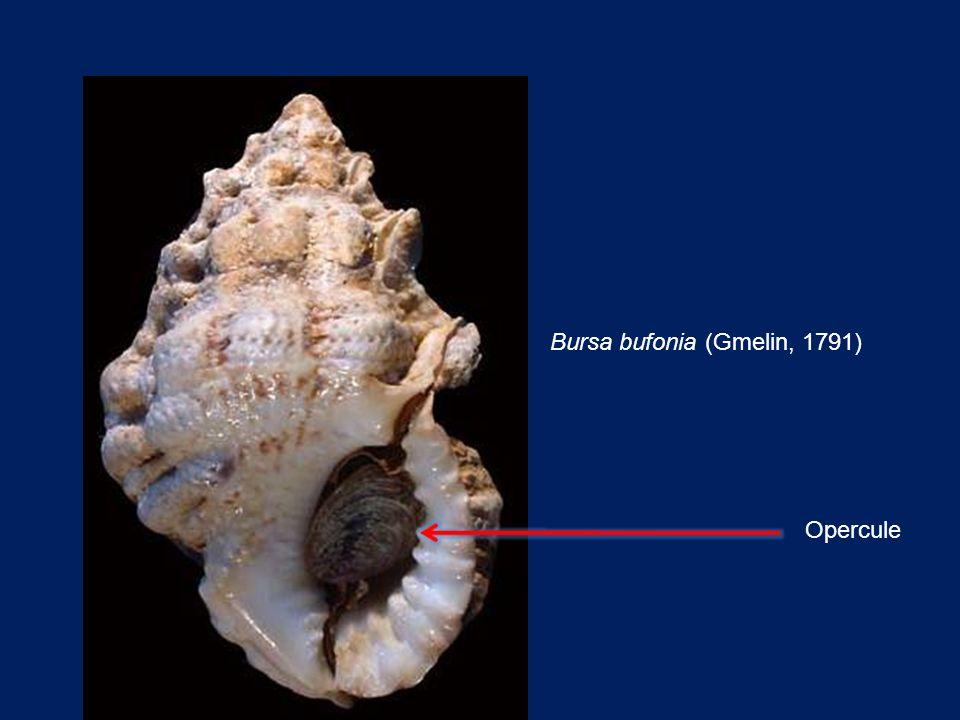 Bursa bufonia (Gmelin, 1791)
