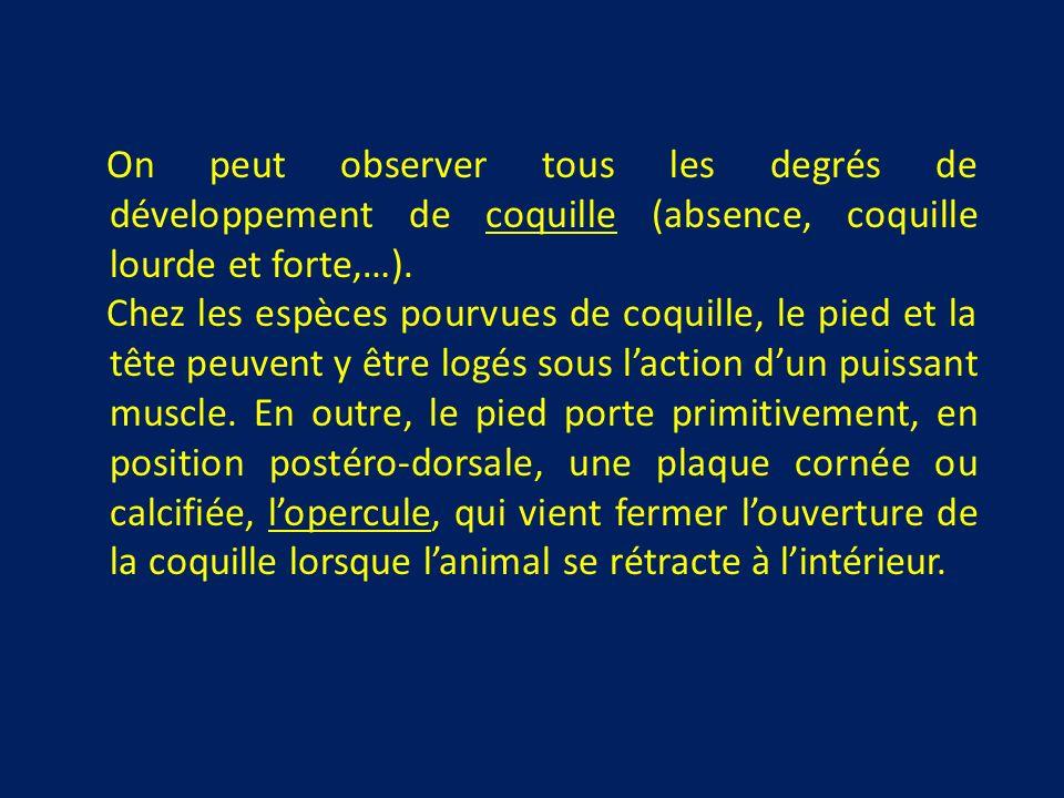 On peut observer tous les degrés de développement de coquille (absence, coquille lourde et forte,…).