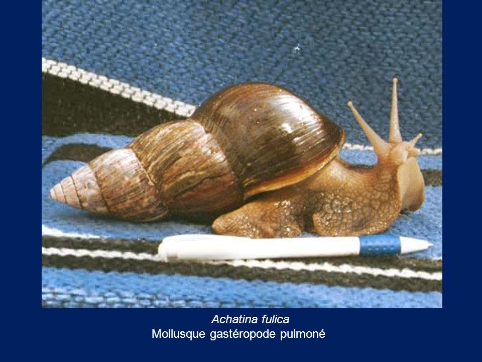 Achatina fulica Mollusque gastéropode pulmoné
