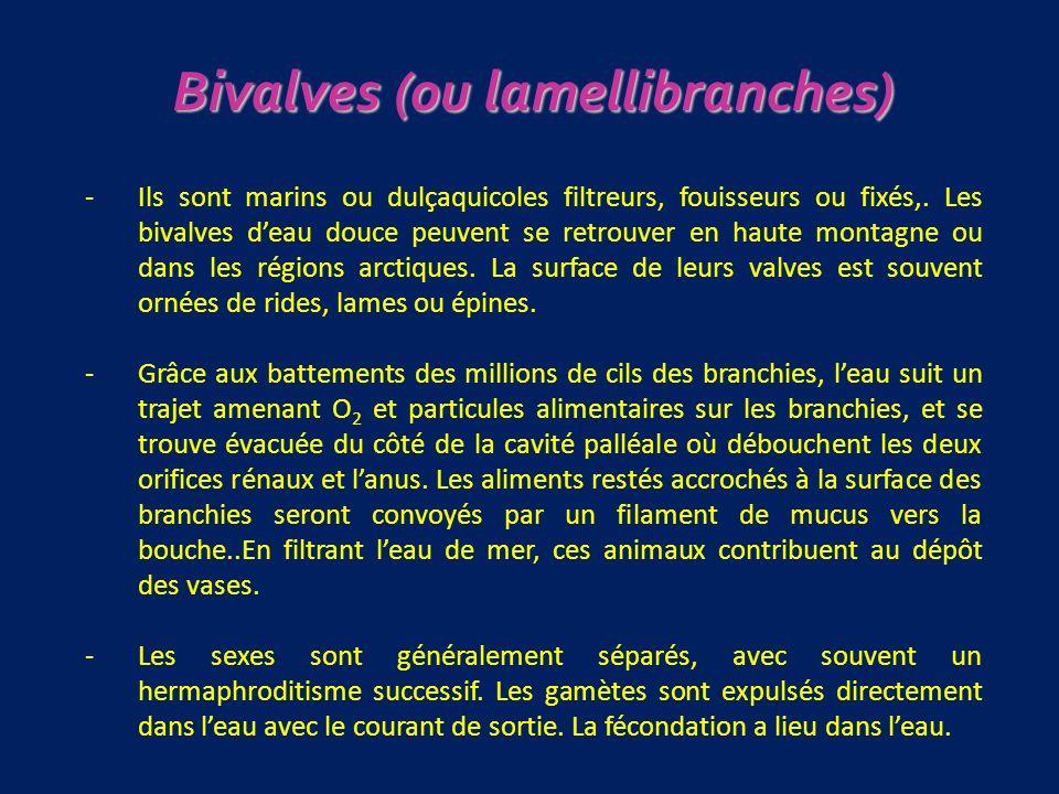 Bivalves (ou lamellibranches)