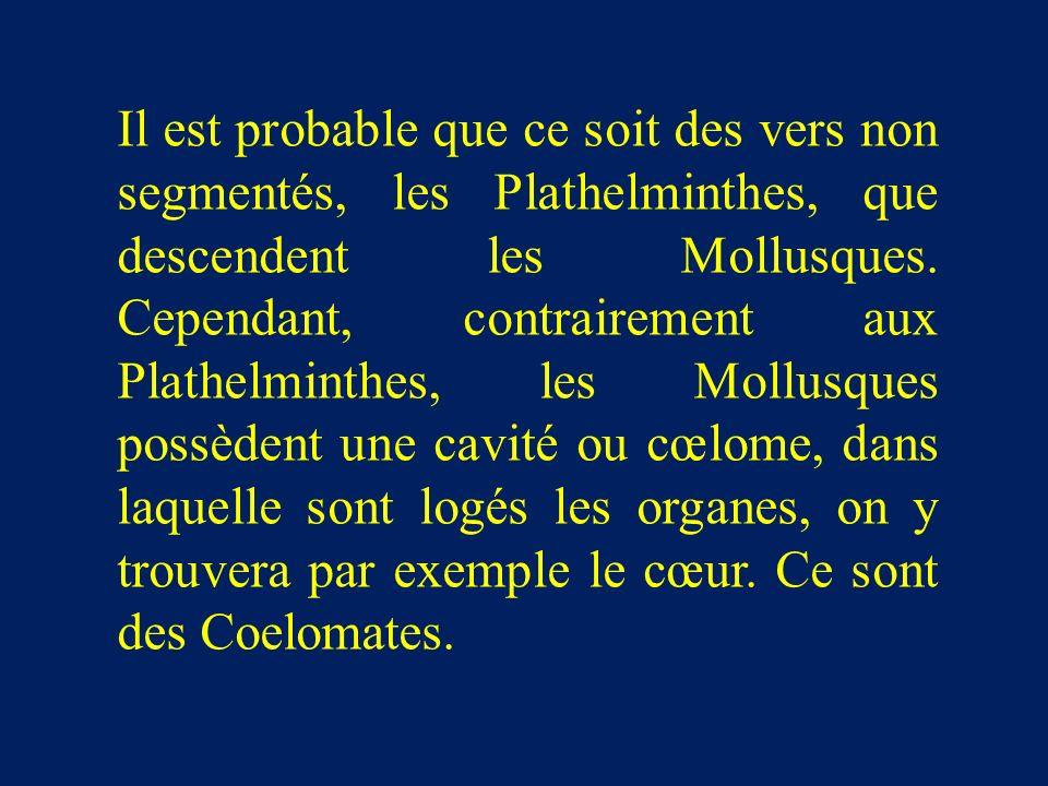 Il est probable que ce soit des vers non segmentés, les Plathelminthes, que descendent les Mollusques.