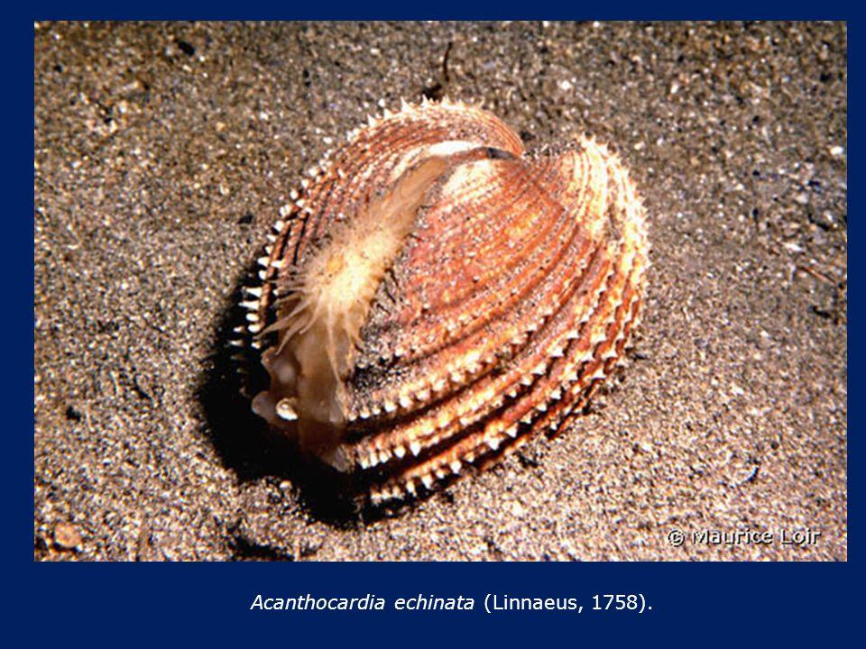 Acanthocardia echinata (Linnaeus, 1758).
