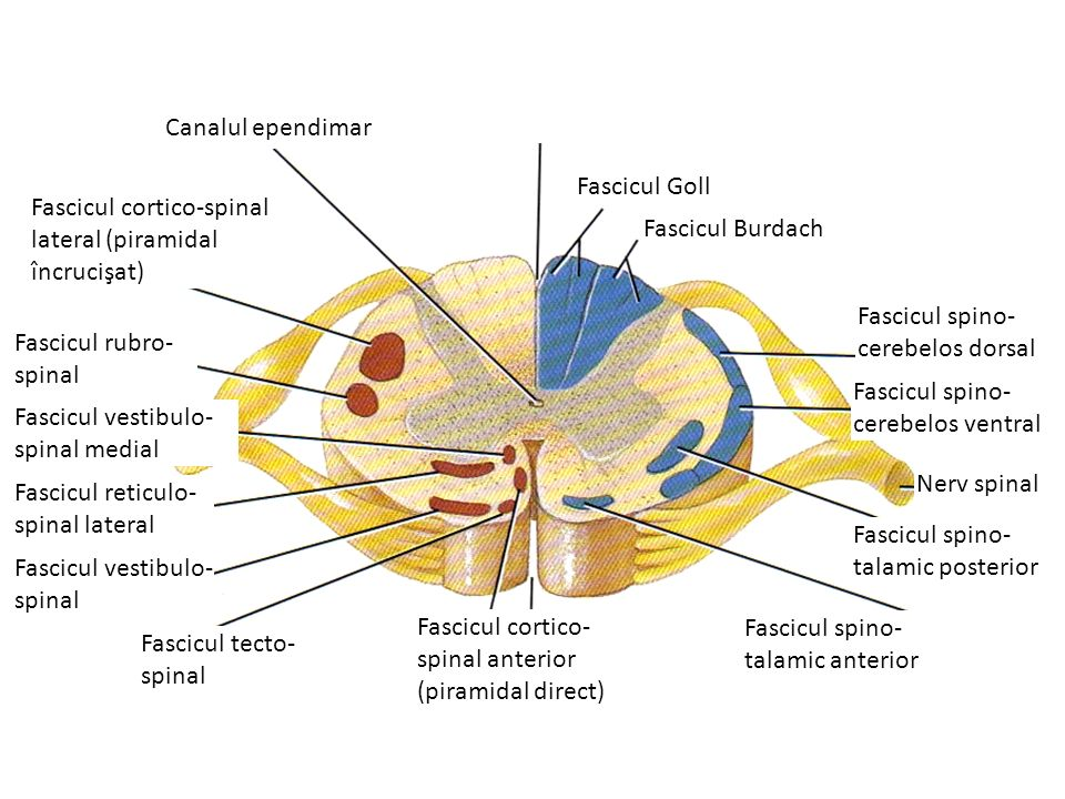 Canalul ependimar Fascicul Goll. Fascicul cortico-spinal lateral (piramidal încrucişat) Fascicul Burdach.