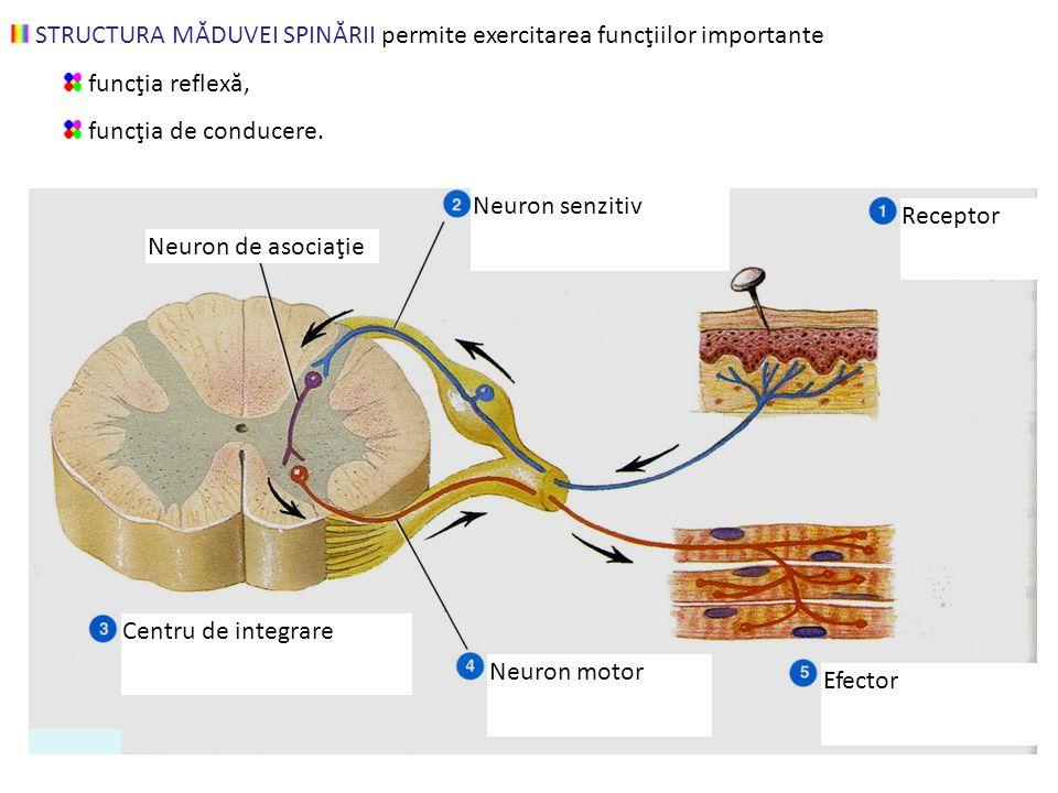 STRUCTURA MĂDUVEI SPINĂRII permite exercitarea funcţiilor importante