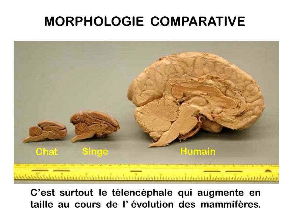 MORPHOLOGIE COMPARATIVE