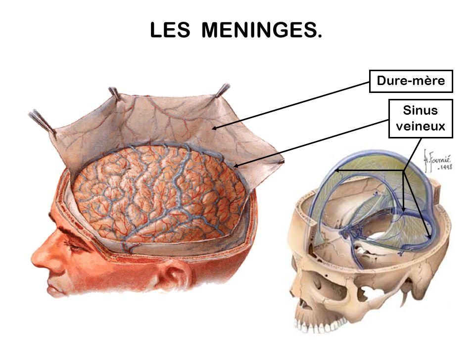 LES MENINGES. Dure-mère Sinus veineux