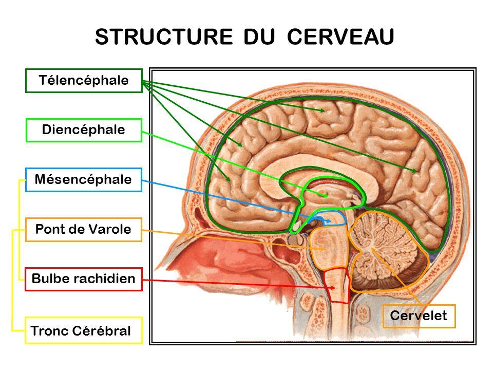 STRUCTURE DU CERVEAU Télencéphale Diencéphale Mésencéphale