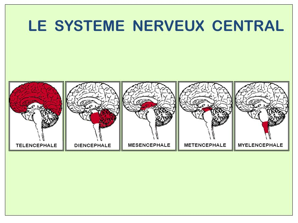 LE SYSTEME NERVEUX CENTRAL
