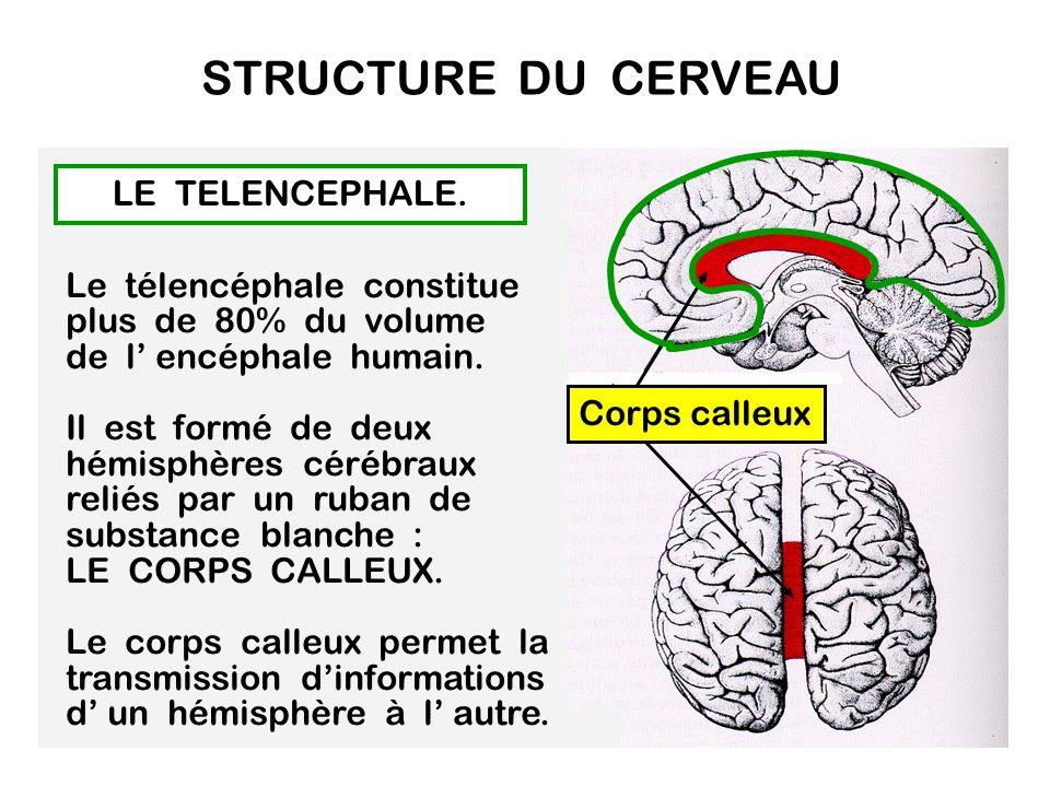 STRUCTURE DU CERVEAU LE TELENCEPHALE.