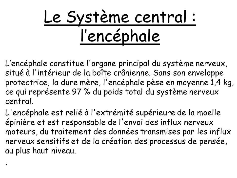 Le Système central : l'encéphale