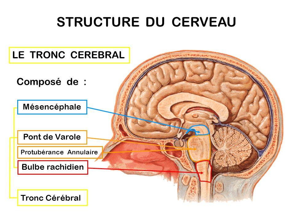 STRUCTURE DU CERVEAU LE TRONC CEREBRAL Composé de : Mésencéphale