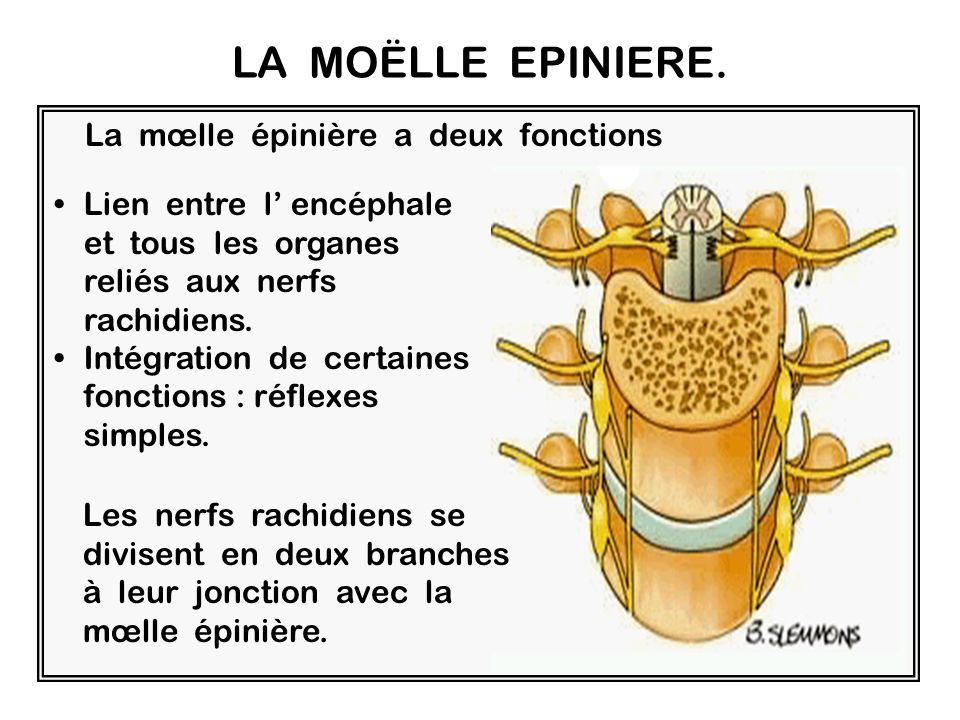 LA MOËLLE EPINIERE. La mœlle épinière a deux fonctions