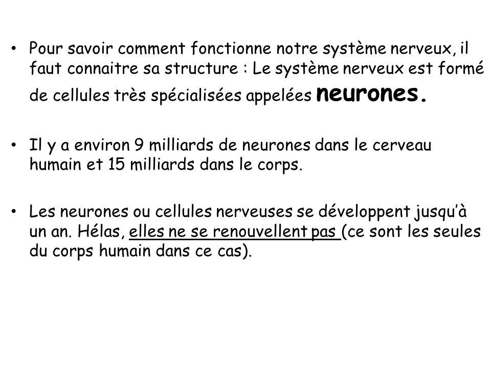 Pour savoir comment fonctionne notre système nerveux, il faut connaitre sa structure : Le système nerveux est formé de cellules très spécialisées appelées neurones.