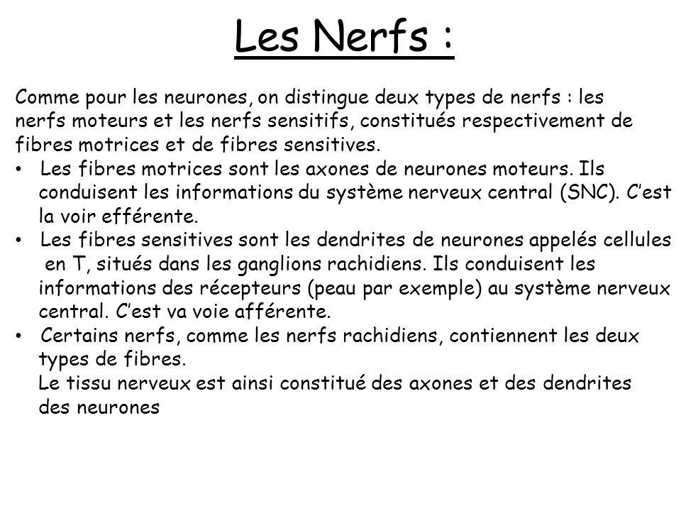 Les Nerfs : Comme pour les neurones, on distingue deux types de nerfs : les. nerfs moteurs et les nerfs sensitifs, constitués respectivement de.