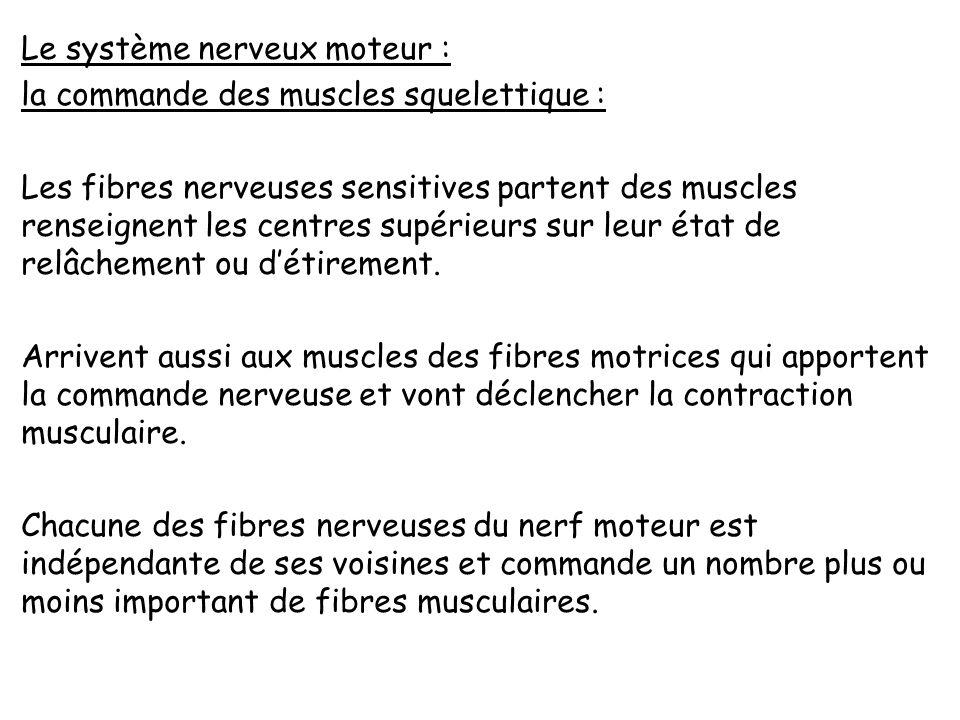 Le système nerveux moteur : la commande des muscles squelettique : Les fibres nerveuses sensitives partent des muscles renseignent les centres supérieurs sur leur état de relâchement ou d'étirement.