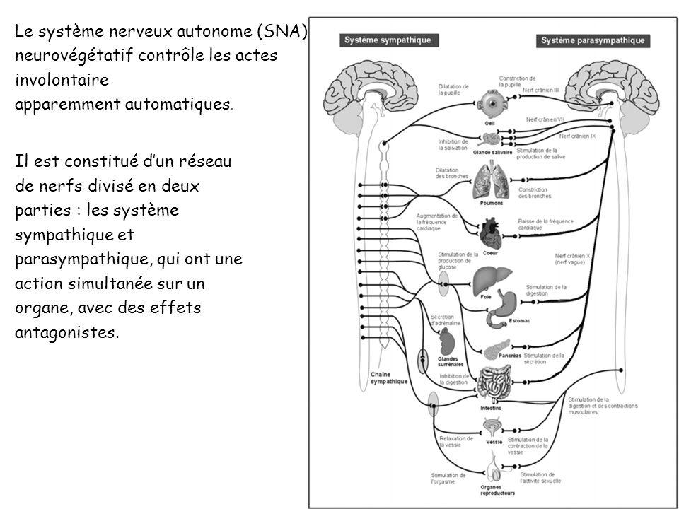 Le système nerveux autonome (SNA), ou système