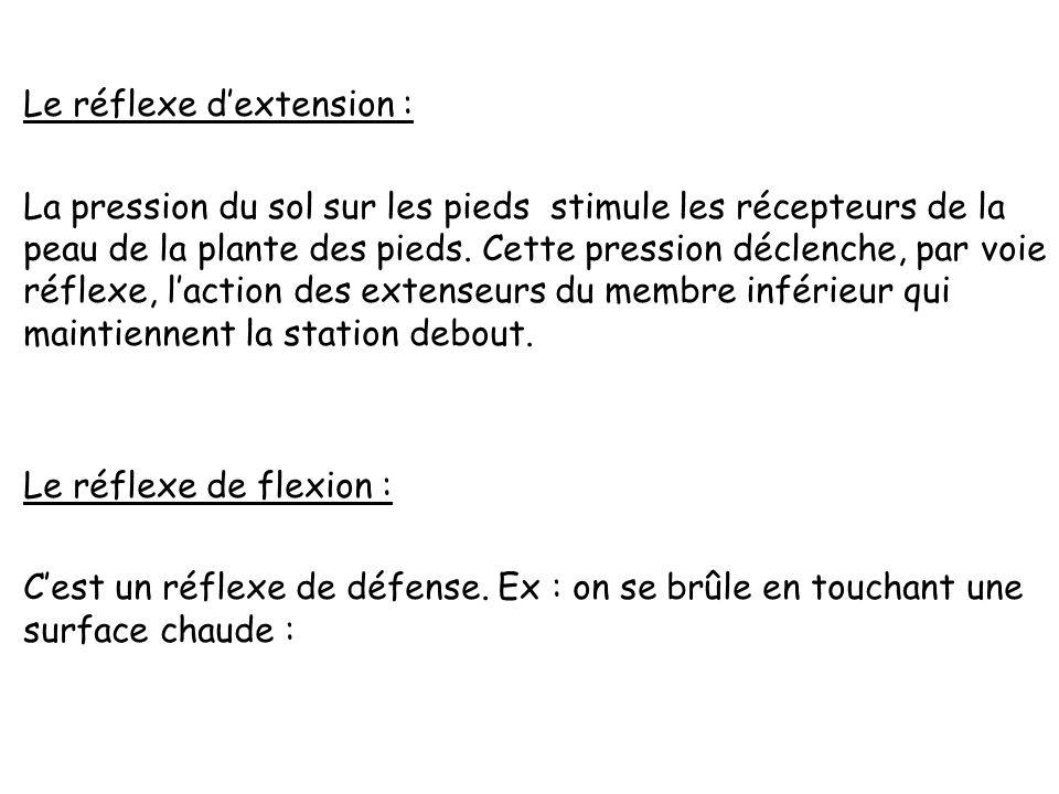 Le réflexe d'extension : La pression du sol sur les pieds stimule les récepteurs de la peau de la plante des pieds.