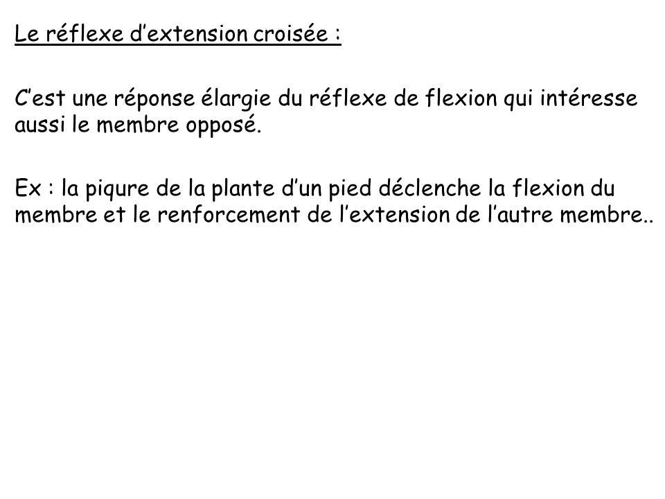 Le réflexe d'extension croisée : C'est une réponse élargie du réflexe de flexion qui intéresse aussi le membre opposé.