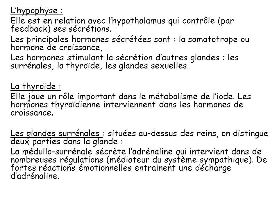 L'hypophyse : Elle est en relation avec l'hypothalamus qui contrôle (par feedback) ses sécrétions.
