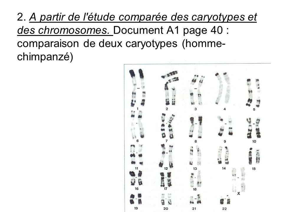 2. A partir de l étude comparée des caryotypes et des chromosomes