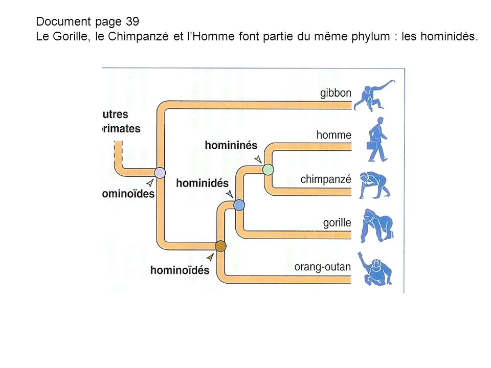 Document page 39 Le Gorille, le Chimpanzé et l'Homme font partie du même phylum : les hominidés.