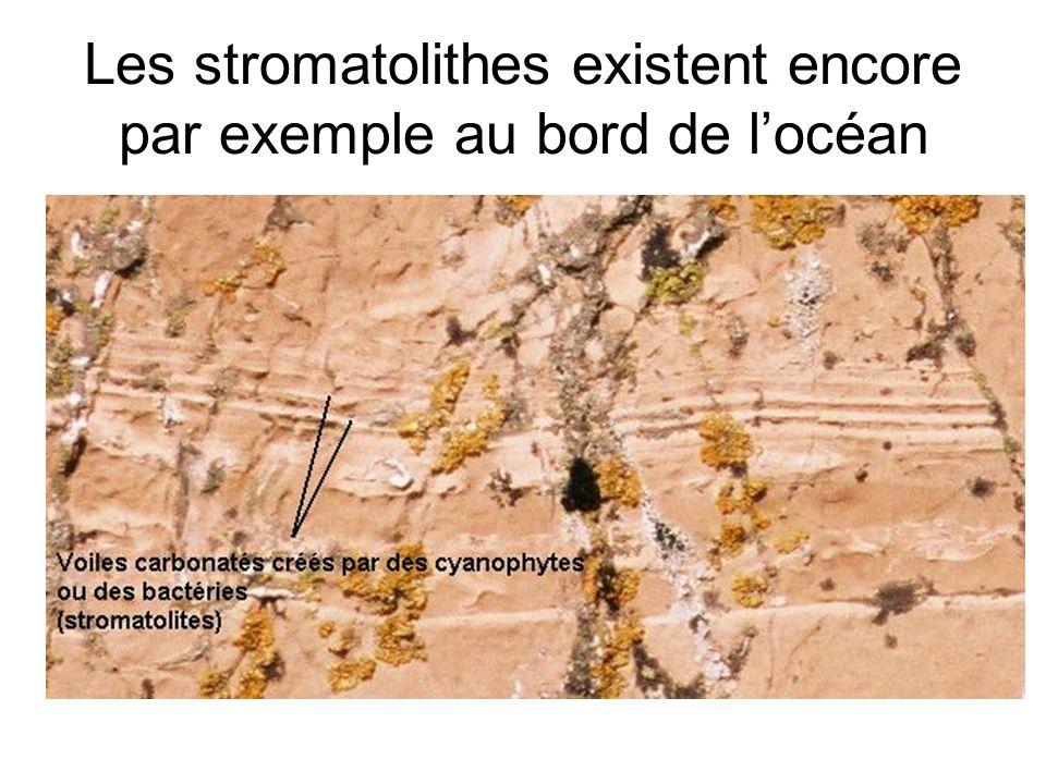 Les stromatolithes existent encore par exemple au bord de l'océan