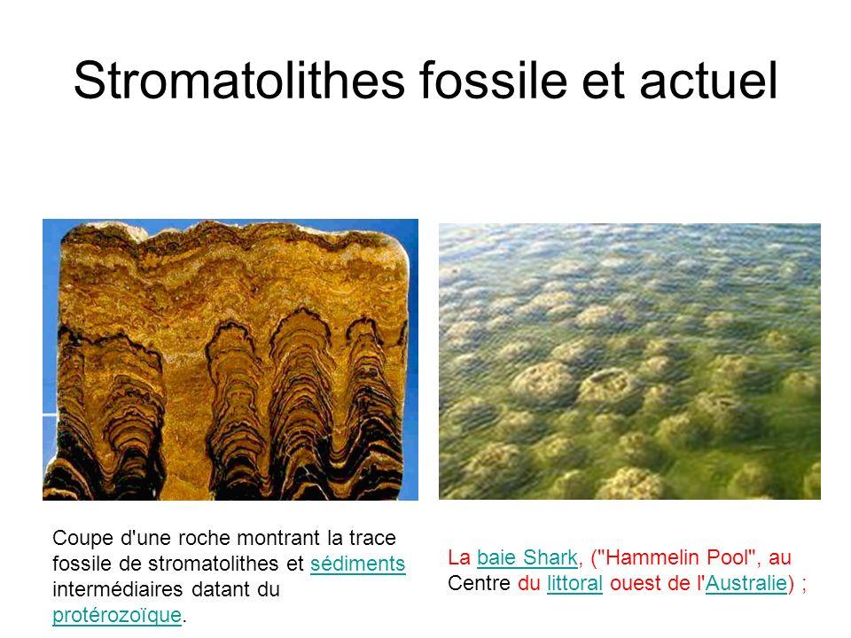 Stromatolithes fossile et actuel