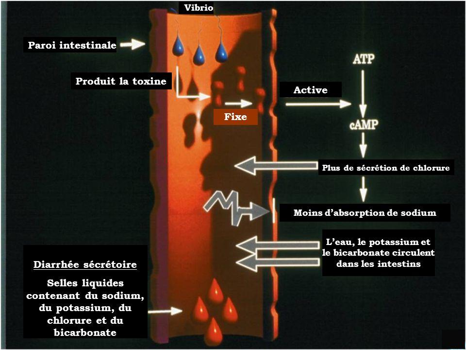 Paroi intestinale Produit la toxine Active Fixe Diarrhée sécrétoire