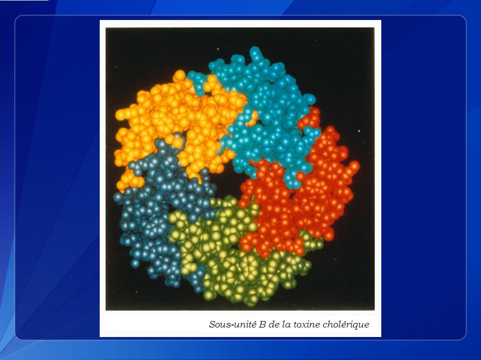 Sous-unité B de la toxine cholérique
