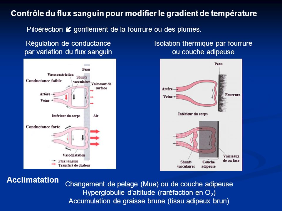 Contrôle du flux sanguin pour modifier le gradient de température