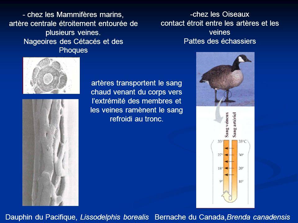 contact étroit entre les artères et les veines Pattes des échassiers