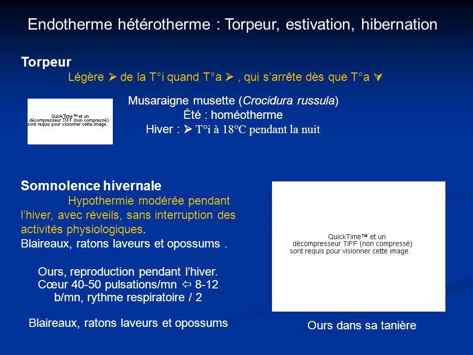 Endotherme hétérotherme : Torpeur, estivation, hibernation